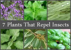 Lovely Indoor Plants Mosquito Repellent   Natural Living Ideas